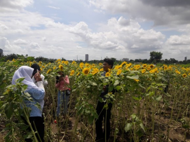 heboh-hutan-bunga-matahari-hadir-di-tangerang